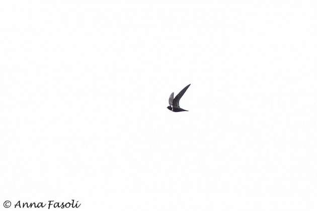 White-collared Swift (Photo by Anna Fasoli)