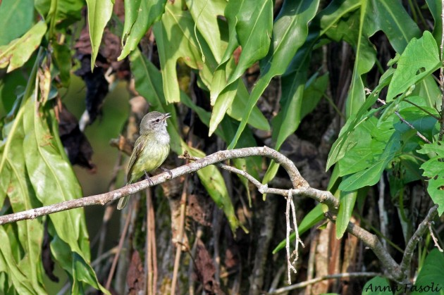 Greenish Elaenia (Photo by Anna Fasoli)