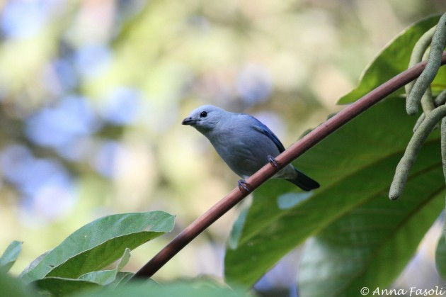 Blue-gray Tanager, one of my favorite species here in Punta Gorda!