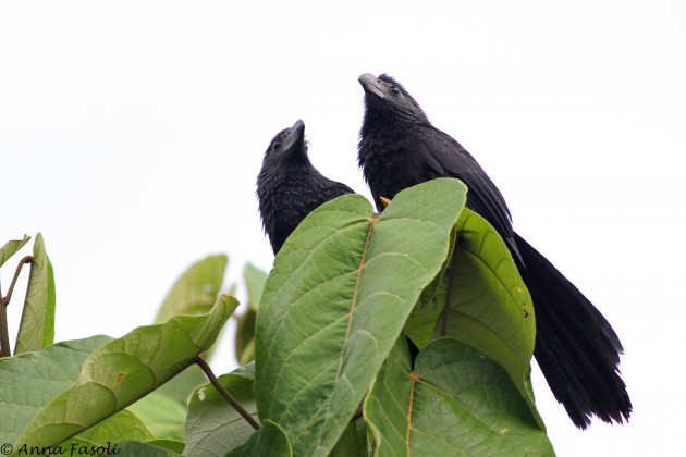 A pair of Groove-billed Anis plotting something. What, I do not know.