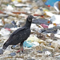 Black Vultures spend the morning at the dump and  usually use thermals by 9:00 to get some lift
