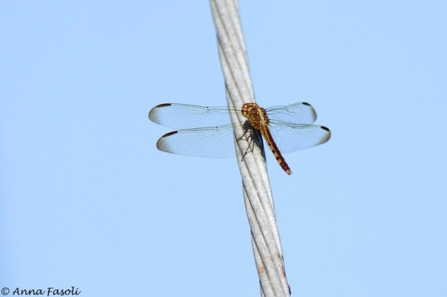 Dragonflies lined the powerlines today.
