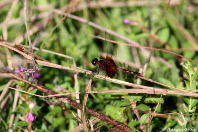 One of thousands on dragonflies on site today