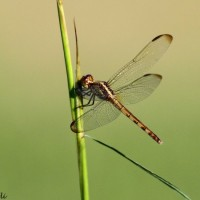 One of the thousands of dragonflies around the hawkwatch today