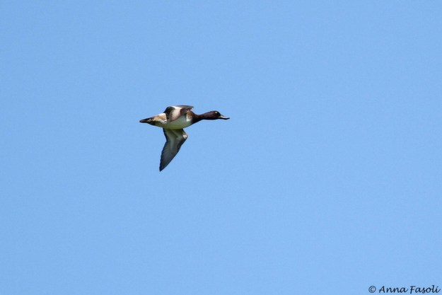 Lesser Scaup flying past the BRRI hawkwatch