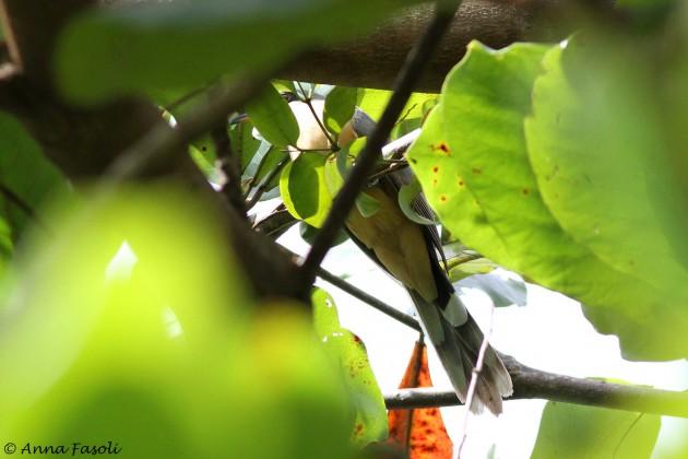 112214 Manrove Cuckoo 02