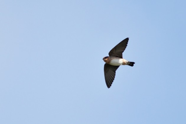 Cave Swallow (Photo by Alex Lamoreaux)