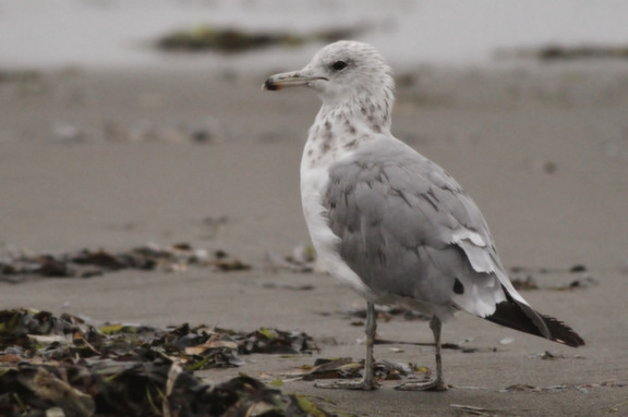 California Gull - 3rd winter (Photo by Alex Lamoreaux)