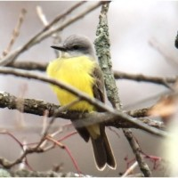 Andy McGann - Couch's Kingbird