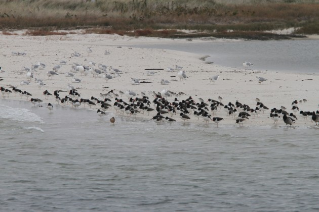Mixed flock of shorebirds, mainly American Oystercatchers (Photo by Nathan Goldberg)