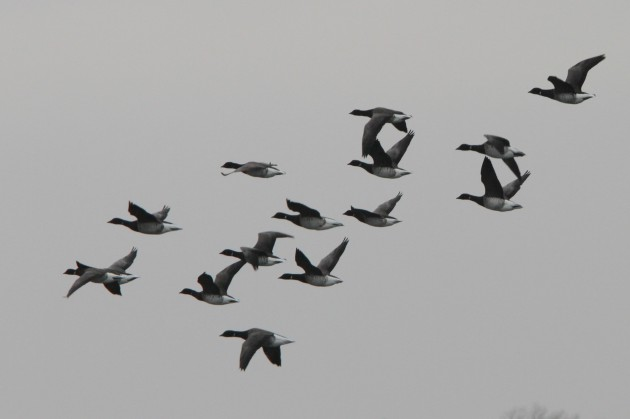 A flyby flock of Brant (Photo by Nathan Goldberg)