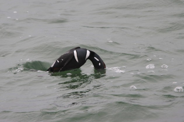 Harlequin Duck diving (Photo by Nathan Goldberg)