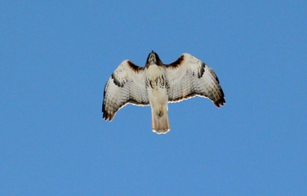 Red-tail on his way to the local bird pub (photo by Steve Brenner)
