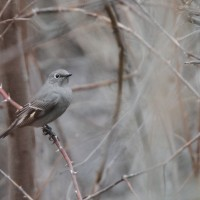 Townsend's Solitaire (Photo by Nathan Goldberg)