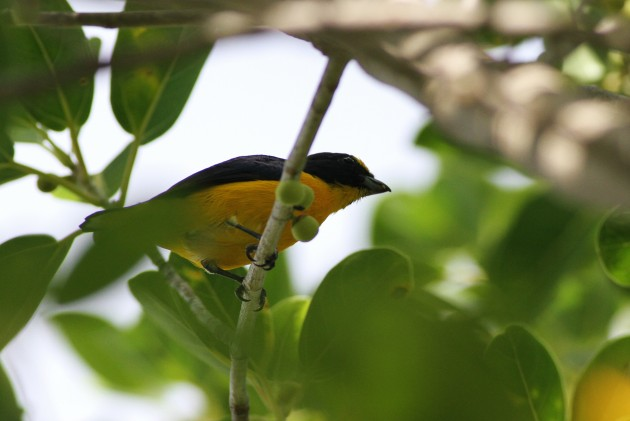 Male Yellow-throated Euphonia (Photo by Alex Lamoreaux)