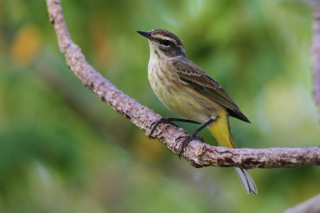 'Western' Palm Warbler (Photo by Alex Lamoreaux)