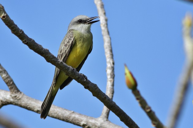 Tropical Kingbird (Photo by Alex Lamoreaux)
