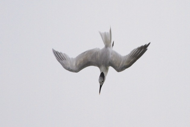 Sandwich Tern diving (Photo by Alex Lamoreaux)