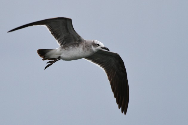 First winter Laughing Gulls were a common sight along the Punta Gorda coastline, with very few adult birds noted and none seen until November 30th. (Photo by Alex Lamoreaux)