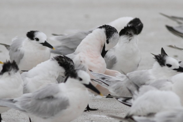 One of two pink-breasted Sandwich Terns seen on December 10th. (Photo by Alex Lamoreaux)