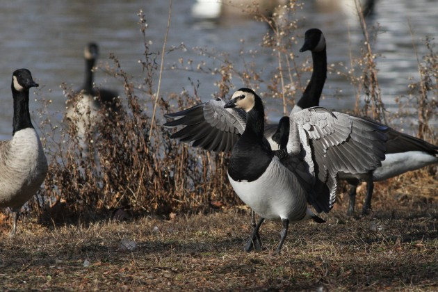 Male Barnacle Goose stretching it's wings (Photo by Alex Lamoreaux)