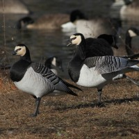 Male and female Barnacle Geese (Photo by Alex Lamoreaux)