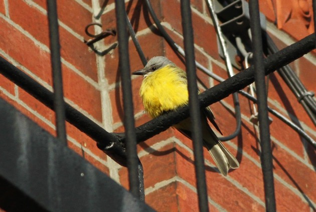Couch's Kingbird perched on a fire escape in the West Village of NYC (Photo by Alex Lamoreaux)
