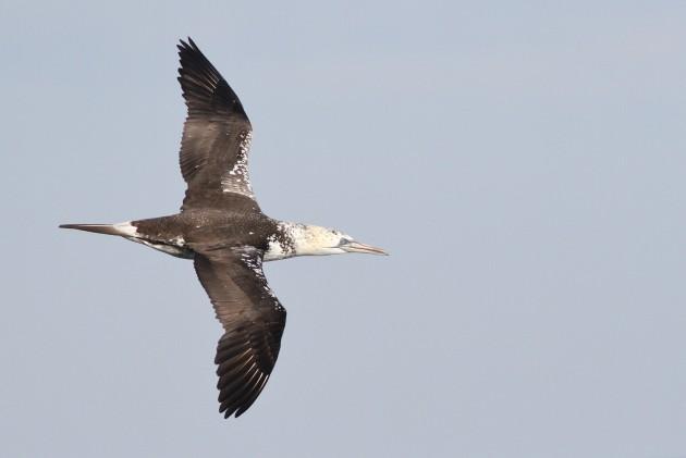Third year Northern Gannet cruising past. (Photo by Alex Lamoreaux)