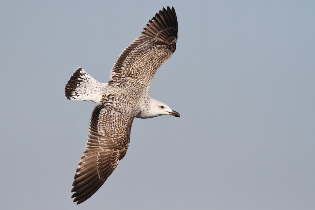 First winter Great Black-backed Gull (Photo by Alex Lamoreaux)