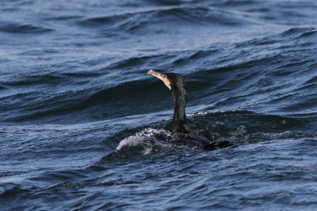Adult Great Cormorant (Photo by Alex Lamoreaux)