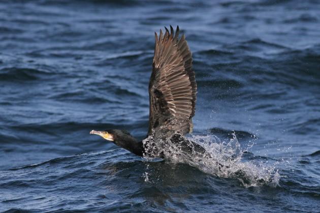 Adult Great Cormorant taking flight alongside the boat. (Photo by Alex Lamoreaux)