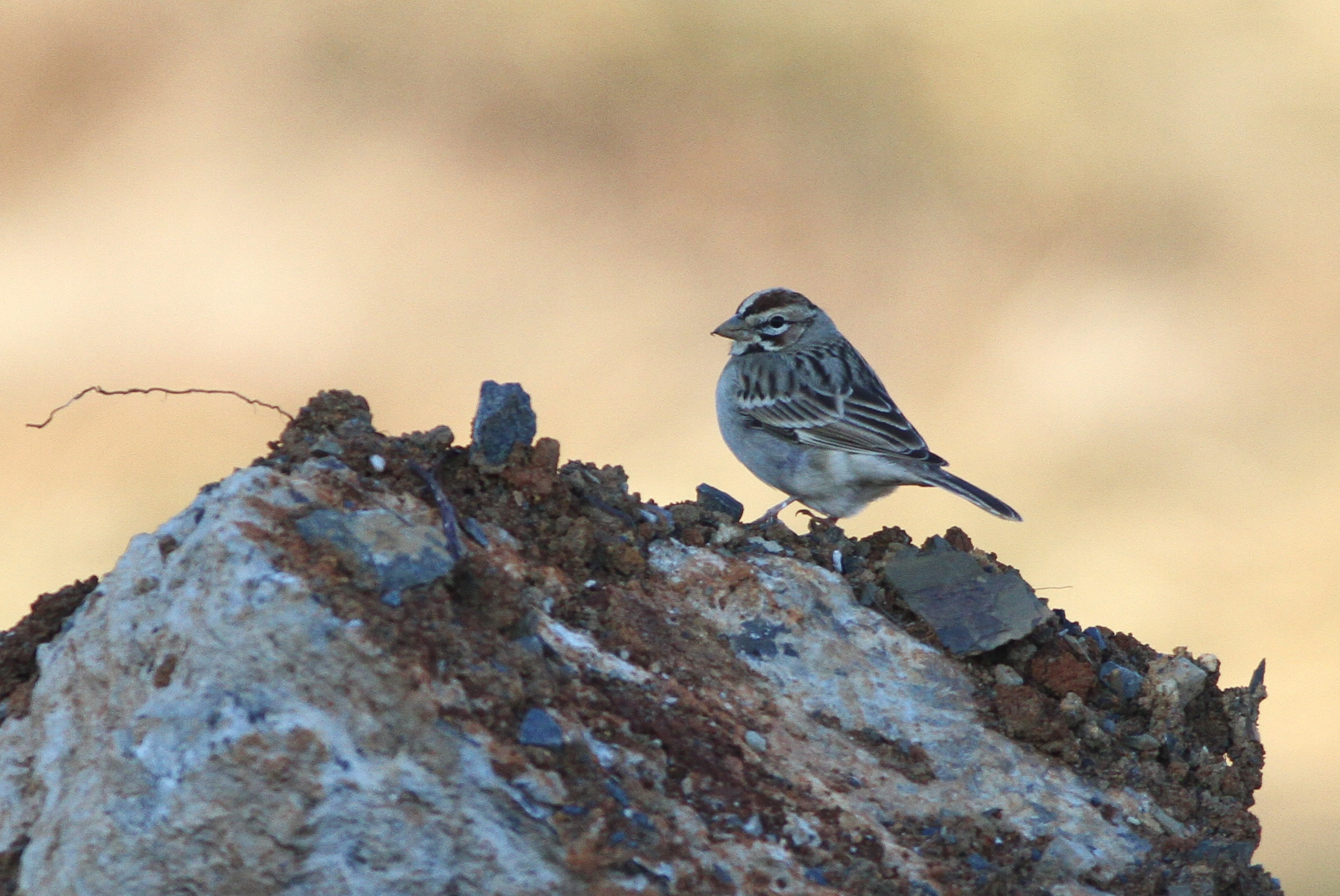 Lark Sparrow - Cumberland County, PA (Photo by Alex Lamoreaux)