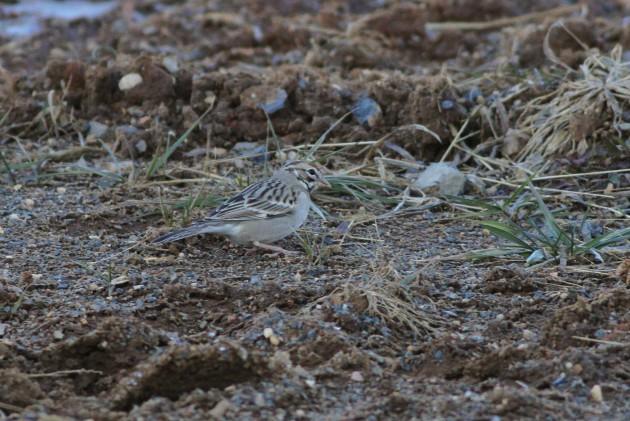 Lark Sparrow - Cumberland County, PA (Photo by Alex Lamoreaux)