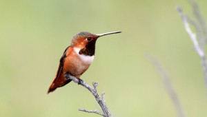 Allen's Hummingbird - male