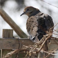 Delaware's 8th White-winged Dove sunning itself on a fence in Brian McCaffrey's backyard. (Photo by Alex Lamoreaux)