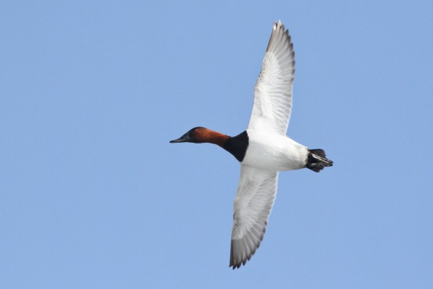 Canvasback (male) in flight above the West Fairview boat launch. (Photo by Alex Lamoreaux)