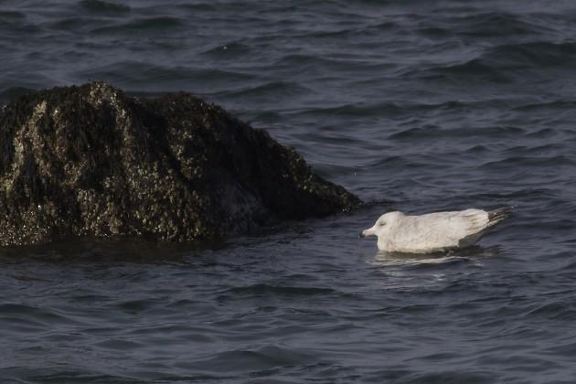 presumed Nelson's Gull (Glaucous x Herring Gull hybrid), Jodrey State Fish Pier, Gloucester, Massachusetts. Photo by Matt Sabatine.