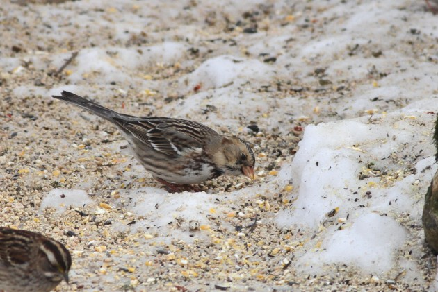 First winter Harris's Sparrow (Photo by Alex Lamoreaux)