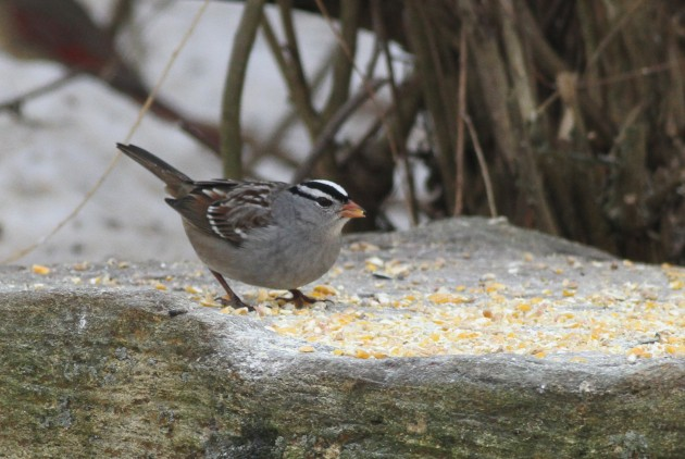 Adult Gambel's White-crowned Sparrow (Photo by Alex Lamoreaux)