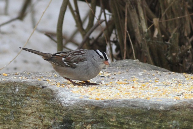 Adult Gambel's White-crowned Sparrow at the Koch property near Easton, PA. (Photo by Alex Lamoreaux)