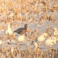 Greater White-fronted X Snow Goose hybrid adult, with Snow Geese along PA896 in Lancaster County, PA (Photo by Alex Lamoreaux)