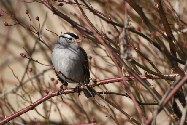 My first view of the adult Gambel's White-crowned Sparrow near Newville - showing a very orange bill and gray lores. (Photo by Alex Lamoreaux)