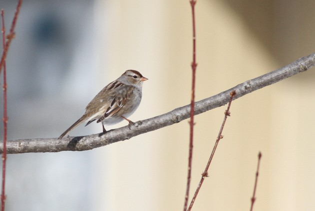 Immature White-crowned Sparrow near Newville, Cumberland County, PA. Is this also a Gambel's?....it has plain, gray lores and a smallish, orange bill. (Photo by Alex Lamoreaux)