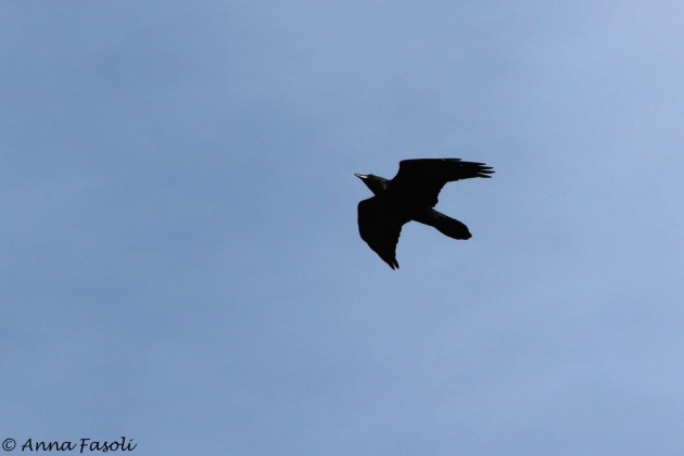 Common Raven coming in for a close look