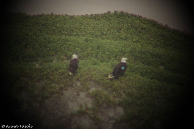 Bald Eagle pair on Santa Rosa Island; A60 (male on left) with A17 (female on right)