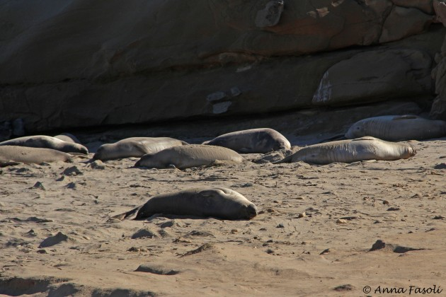 Northern elephant seals basking on beach; Johnson's Lee, Santa Rosa Island