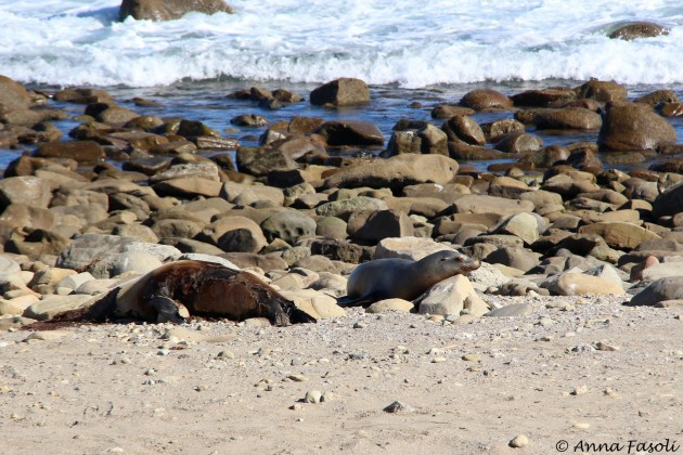 California sea lion on beach near dead elephant seal; Johnson's Lee, Santa Rosa Island