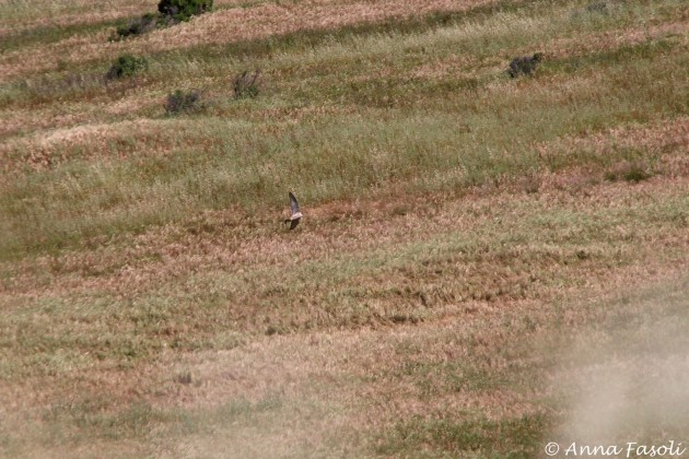 Peregrine Falcon hunting at Bonn Point, Santa Rosa Island