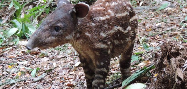 A young Baird's Tapir, Golden Stream Corridor Preserve, Belize; photo by Victor Bonilla