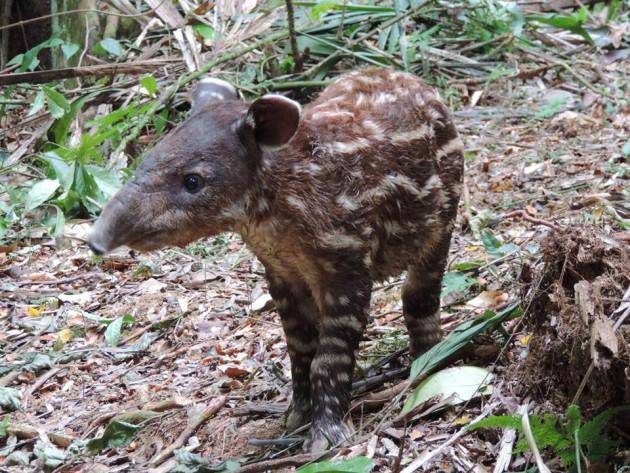A young Baird's Tapir, Golden Stream Corridor Preserve, Belize; photo by Victor Bonilla